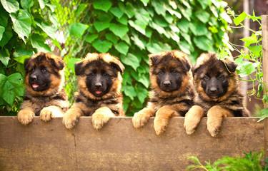 Group of four german shepherd puppies in the yard