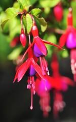 Pink Fuschia Flower