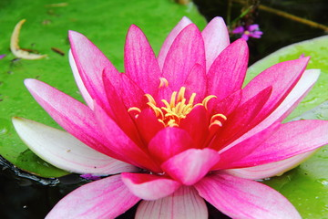 Red waterlily. Nymphea.