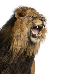 Foto auf Leinwand Löwe Close-up of a Lion roaring, Panthera Leo, 10 years old, isolated