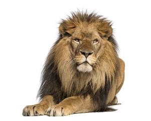 Foto auf Leinwand Löwe Lion lying down, facing, Panthera Leo, 10 years old, isolated