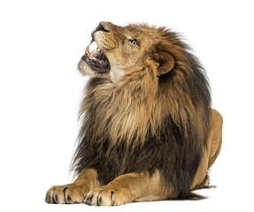 Foto auf Leinwand Löwe Lion lying, roaring, Panthera Leo, 10 years old, isolated