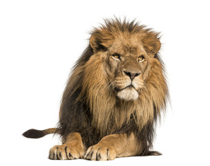 Foto auf Leinwand Löwe Front view of a Lion lying, Panthera Leo, 10 years old, isolated