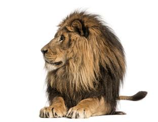Foto auf Leinwand Löwe Lion lying, looking away, Panthera Leo, 10 years old, isolated