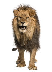 Foto auf Leinwand Löwe Front view of a Lion roaring, standing, Panthera Leo