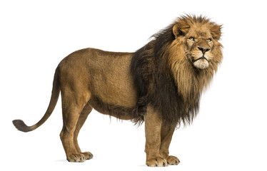 Printed roller blinds Lion Side view of a Lion standing, Panthera Leo, 10 years old
