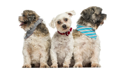 Group of dogs sitting in a row, isolated on white