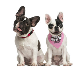 Front view of French Bulldogs sitting together, isolated