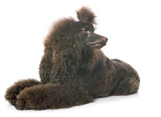 Fototapete - brown poodle