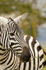 african zebra with grass in it's mouth