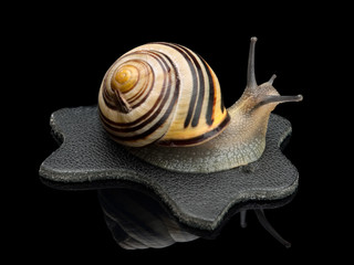 Garden snail on a leather black rag