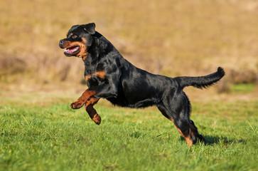 Rottweiler dog running