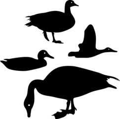 Silhouette of wild duck