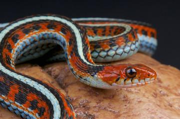 San Fransico garter snake / Thamnophis sirtalis tetrataenia