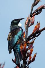 Keuken foto achterwand Nieuw Zeeland Tui - Bird of New Zealand