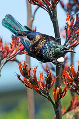 In de dag Nieuw Zeeland Tui - Bird of New Zealand