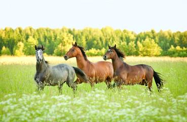 Fototapete - Three horse running trot at flower field in summer