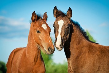 Wall Mural - Portrait of two foals in summer