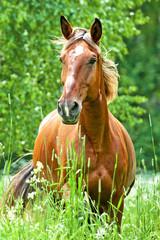 Fototapete - Portrait of running horse in summer