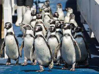 Penguin group walking