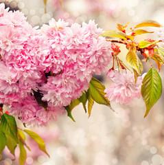Kirschblüte zartrosa