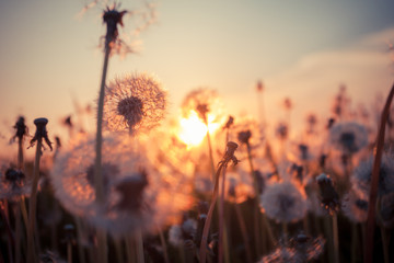 Photo sur Aluminium Pissenlit Real field and dandelion at sunset