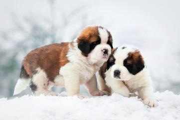 Wall Mural - Two saint bernard puppies in winter