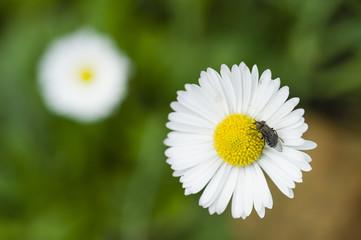Fly on a Daisy flower