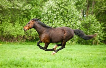 Bay horse running at field in summer
