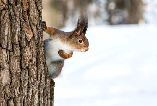 Red squirrel on tree trunk