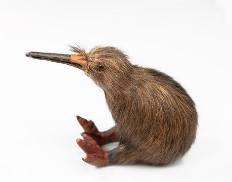 kiwi bird toy sitting on the white background