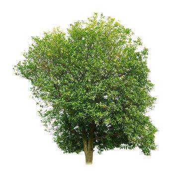 Sweet osmanthus tree