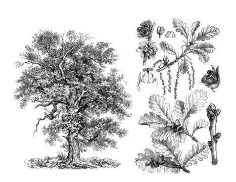 Tree : Oak - Chêne - Eiche