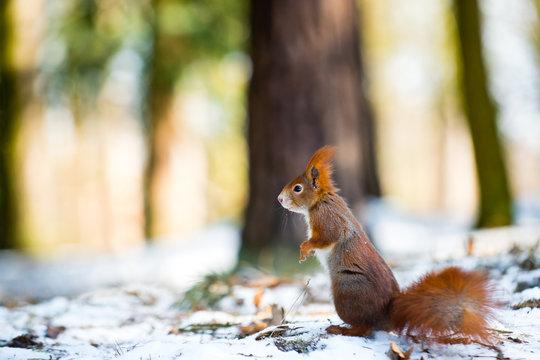 Cute red squirrel in winter scene