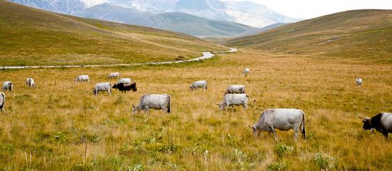 vallata montagna italia con animali bovini