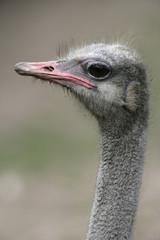 Ostrich, Struthio camelus