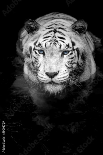 Wall mural White Tiger