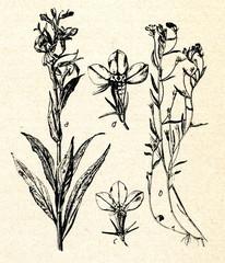 Lobelia cardinalis (a) and Lobelia erinus (b)