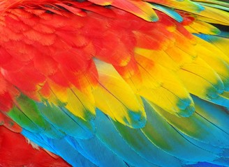 Photo sur Plexiglas Perroquets Parrot feathers, red and blue exotic texture