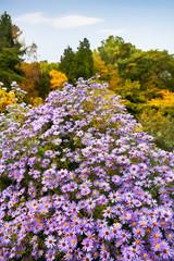 Fototapete - Beautiful autumn flowers in the autumn park.