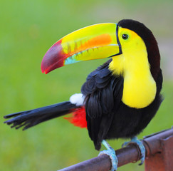Poster Toekan Colored Toucan. Keel Billed Toucan, from Central America.