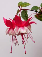 Fuchsia flower  ( White General Monk variety )