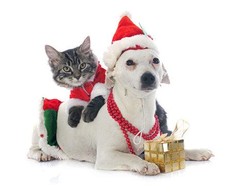 jack russel terrier and kitten