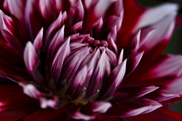 Burgundy dahlia flower close-up (macro)
