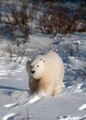 Schattige ijsbeerwelp