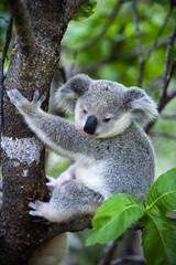 Junger Koala auf Magnetic Island in Australien