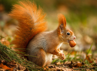 Red squirrel foraging for hazelnuts