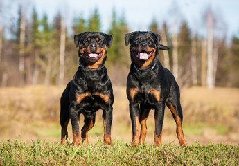 Two rottweilers standing on the hill