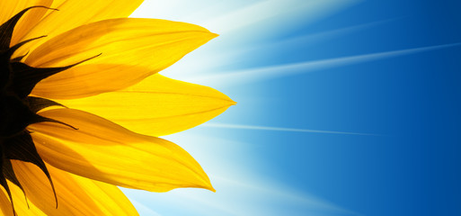Poster Zonnebloem Sunflower flower sunshine on blue sky background