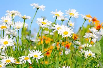 Chamomile flowers on blue sky background